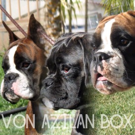 Welcome to Von Aztlan Box, home of outstanding European Boxers. We are a small kennel located in Southern California that breeds top quality full European ...